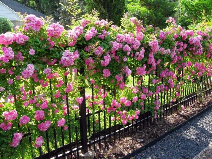Плетистые розы с опорой