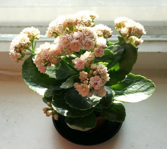 Как ухаживать за цветущим каланхоэ в домашних условиях.