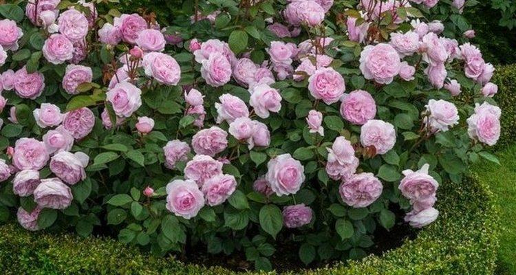 клумбы с розами