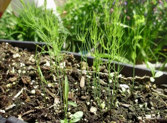 Как растет спаржа на огороде, как ее посадить и вырастить