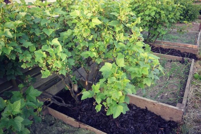 Как просто размножить смородину черенками и отводками