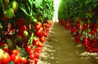 Индетерминантные томаты