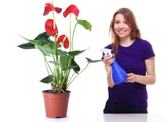 """Как правильно ухаживать за цветком """"мужское счастье"""". Уход за антуриумом в домашних условиях"""