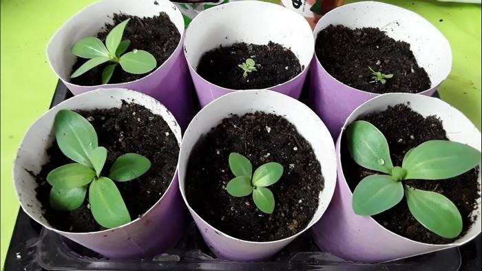 Как вырастить цветок эустома в домашних условиях. Виды и сорта (35 фото)