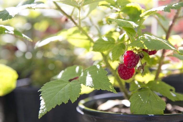 Когда и как правильно посадить малину и как ухаживать за ней после посадки