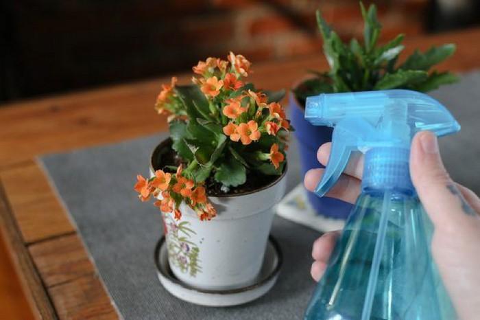 Как ухаживать за каланхоэ в домашних условиях