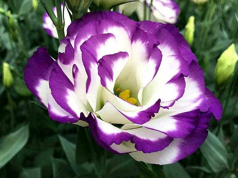 Цветок эустомы