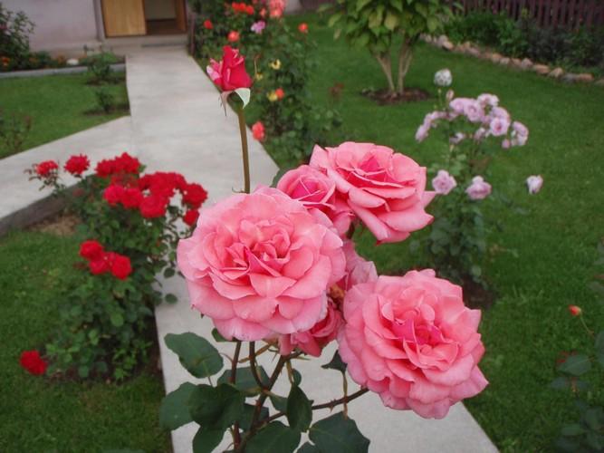 Как размножить розы черенками: осеннее черенкование и укоренение кустов