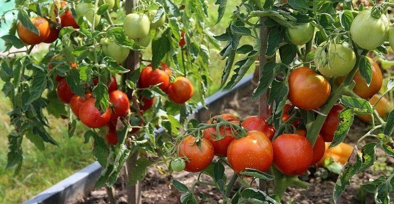 Непасынкующиеся томаты