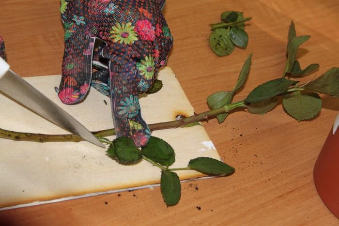 Осеннее черенкование роз