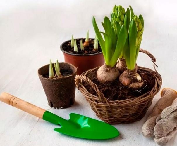 Как выращивать цветок гиацинт в домашних условиях