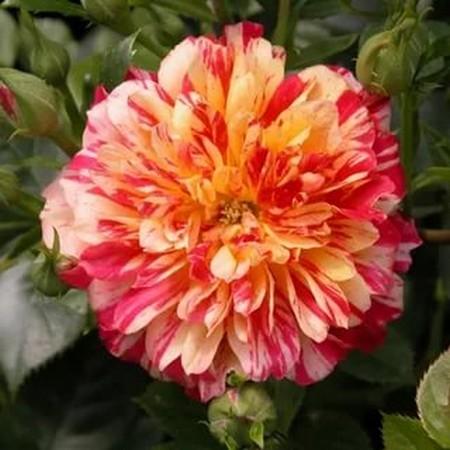 Популярные сорта роз для средней полосы (60 фото с описанием)