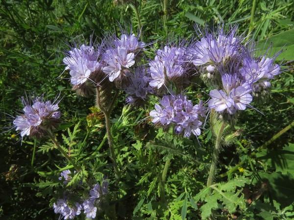 Фацелия - лучший сидерат для огородных культур