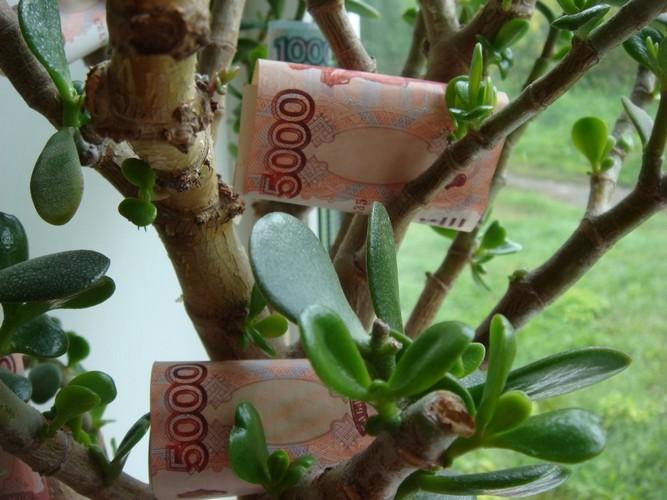Почему цветок назвали денежным деревом