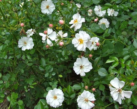 Почвопокровные розы и сорта