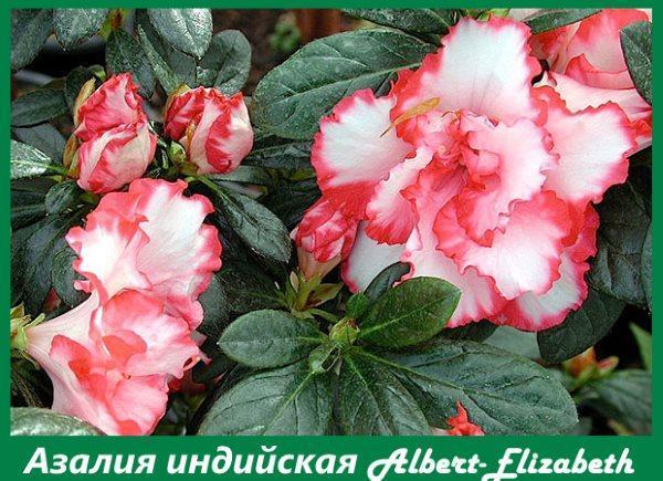 Азалия сорта Albert-Elizabeth