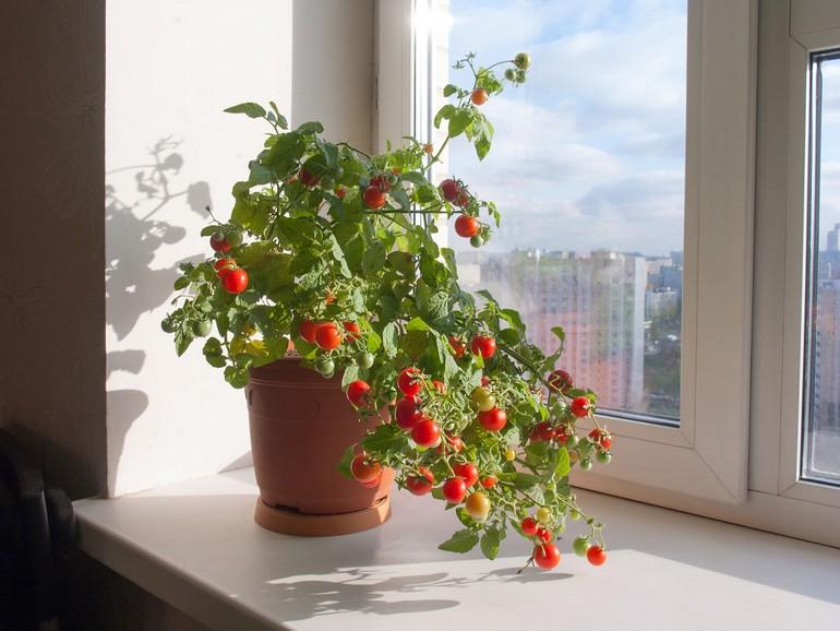 Низкорослые помидоры для балкона