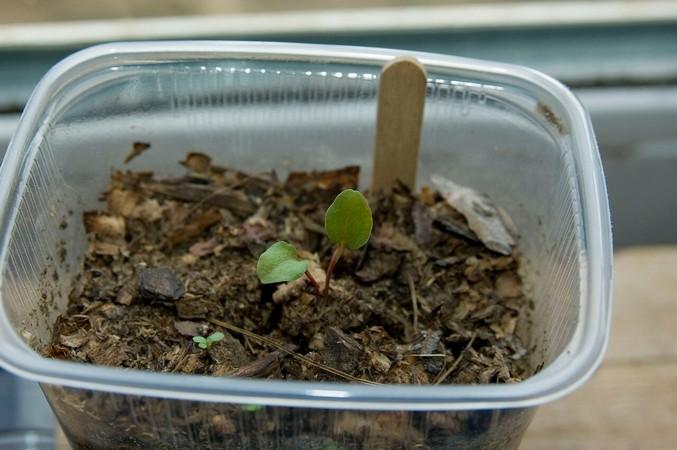 Как вырастить клематисы из семян. Виды и сорта клематиса, размножающиеся семенами