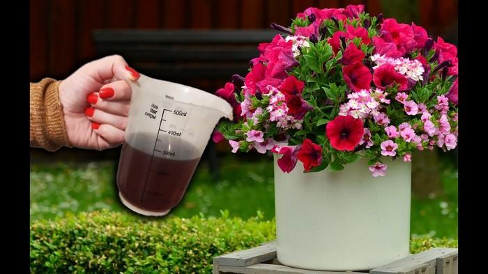 Чем можно подкормить петунию для обильного цветения и роста на улице