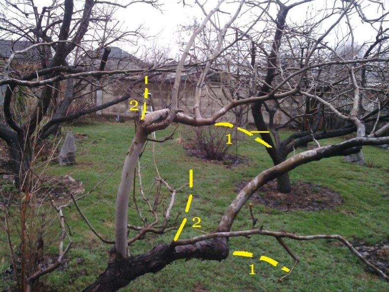 Как правильно обрезать молодые деревья