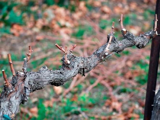 Способы осенних обработок винограда при подготовке его к суровой зиме