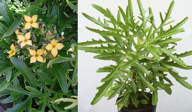 Рассеченное каланхоэ (kalanchoe laciniata)