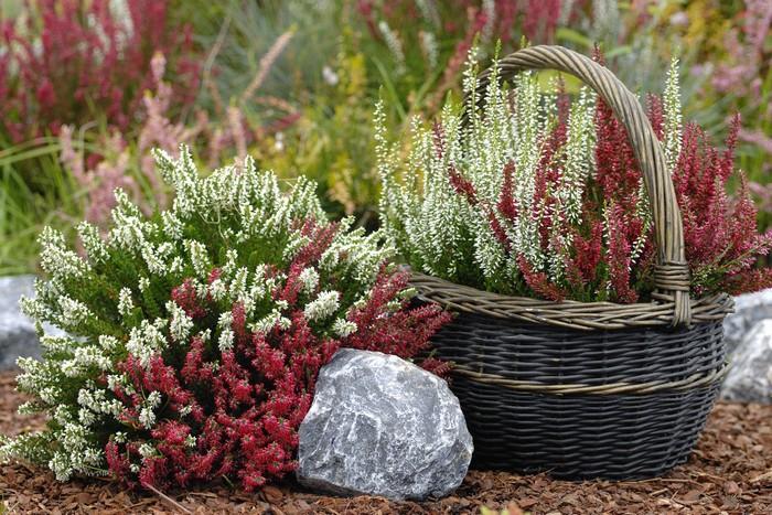 6 видов и 25 сортов декоративного медоносного вереска с фото. Особенности ухода, размножения