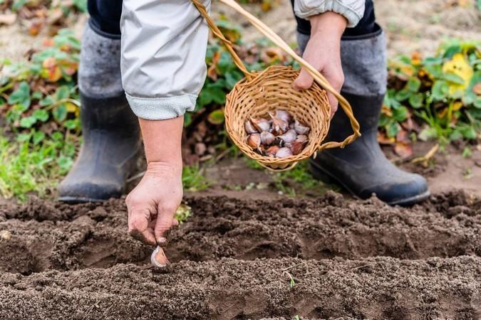 Когда и как правильно посадить озимый чеснок. Сроки по лунному календарю. Лучшие сорта