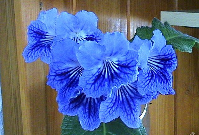 Стрептокарпус синий