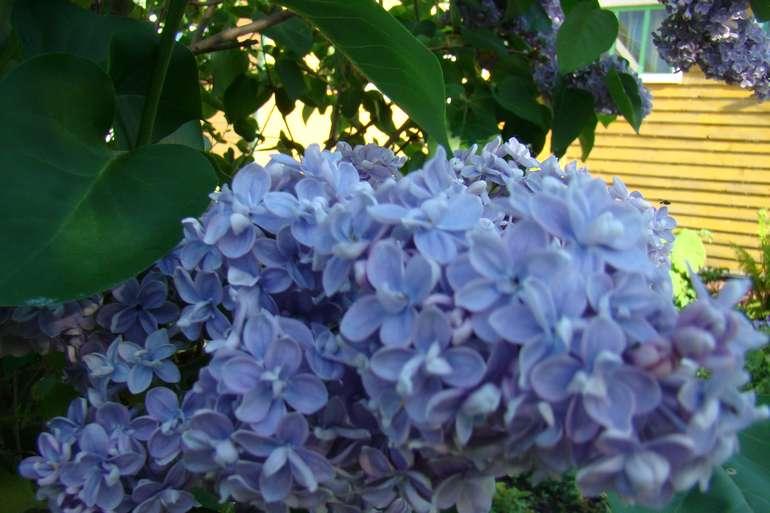 Комнатные и садовые синие цветы: большая подборка (более 50 наименований) с описанием и фото