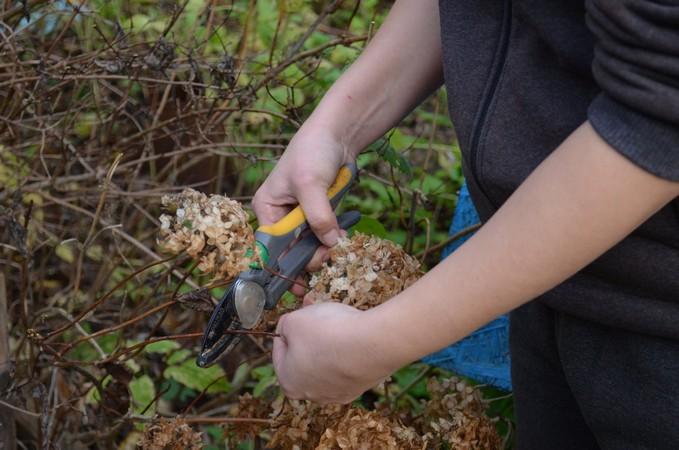 Как правильно обрезать гортензию осенью, чтобы в два раза увеличить размер цветочных шапок