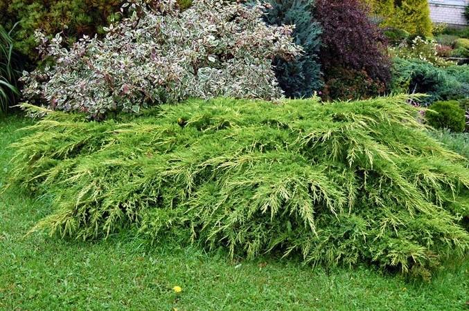 Можжевельник Пфитцера juniperus x pfitzeriana