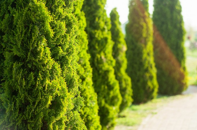 Виды декоративных хвойных растений для ландшафтного дизайна загородного участка (28 фото и видео)