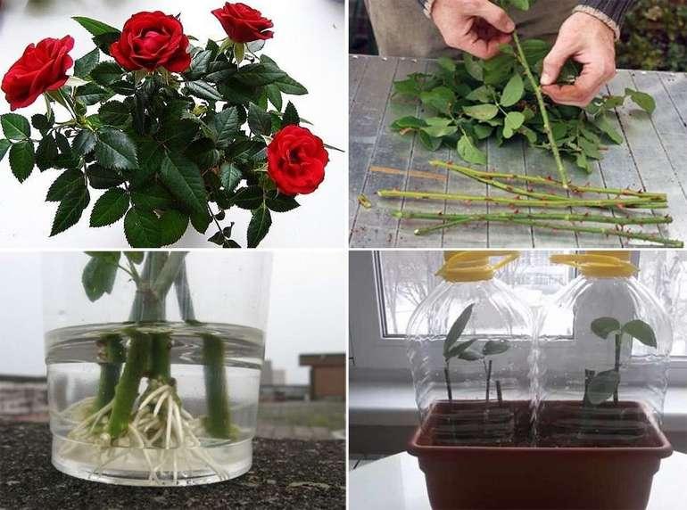 Какие розы можно укоренять