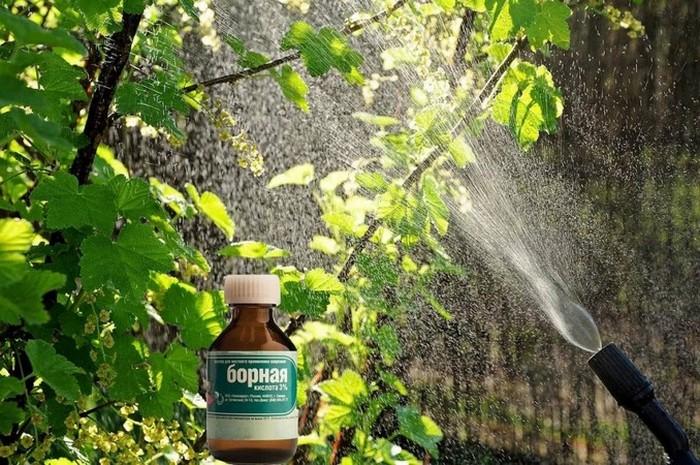 Зачем и как использовать борную кислоту для растений