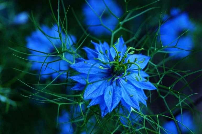 Синяя нигелла