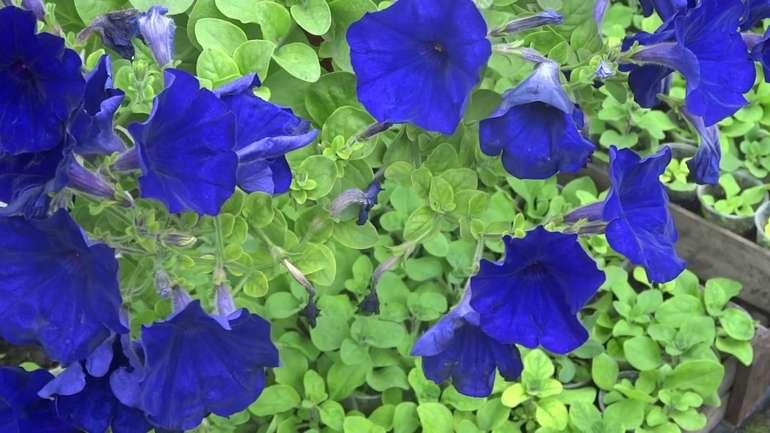 Петуния синия