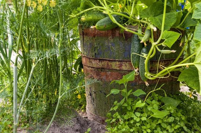 Плюсы и минусы выращивания огурцов в бочке. Описание метода, выбор сортов, подготовка и ожидание урожая