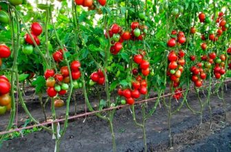 детерминантные томаты