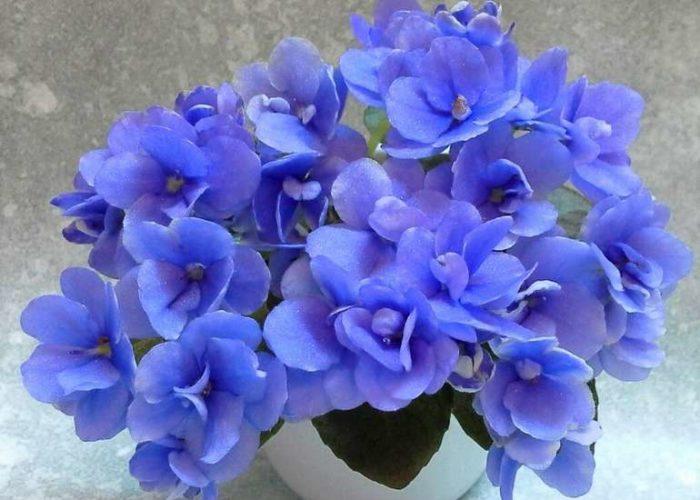 Сенполия узамбарская фиалка синяя