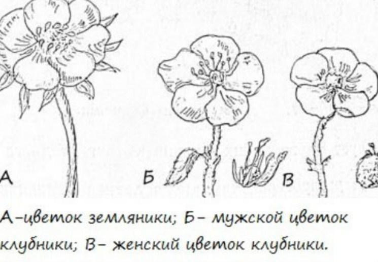Двудомные и однодомные цветы